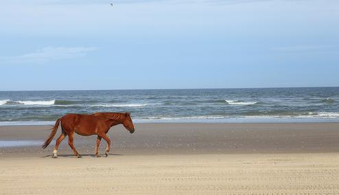 wild-horse-walking-on-carova-beach