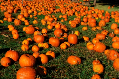 Hundreds of Autumn Pumpkins spread out across green grass ready for sale